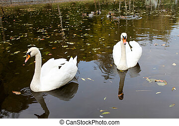 Two swans on a lake - Two white swans on a lake in autumn