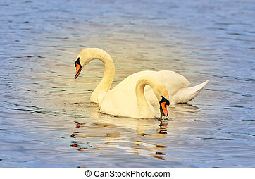 Two swans on a lake swimming together