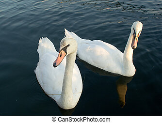 Two swans on a water surface