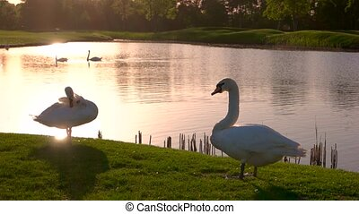 Two swans on green meadow. White swans on green lawn against...