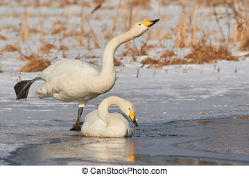Two swans on the frozen lake - Whooper swan (Cygnus Cycnus)...