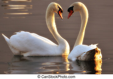 Two swans making a heart
