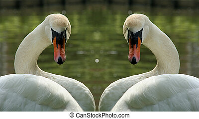 two identical swans