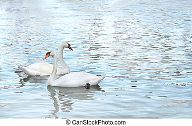 Two swans - Two white swans. Summer day