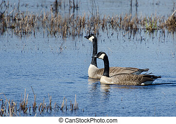 Two Swimming Canada Geese