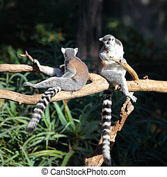 Two Tailed lemurs sitting on a branch
