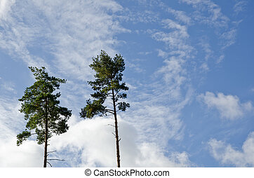 Two tall pine trees