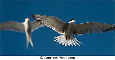 Two terns in air.