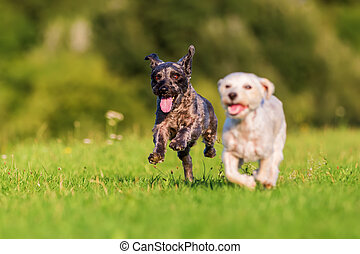 two terrier hybrid dogs running on the meadow
