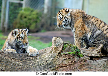 Two tiger cubs