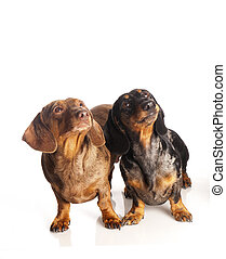 two tiger dachshund on a white background