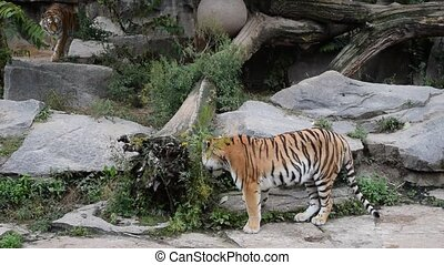 Two tigers play fight in zoo enclosure - Two young female...