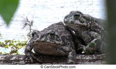 Two toads in their natural habitat - Close up of two toads...