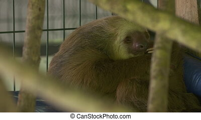Two-toed sloth sleeping at a sanctuary, Costa Rica - Extreme...