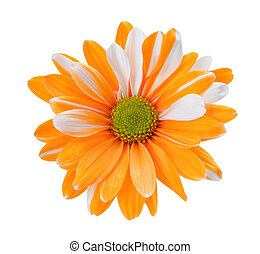 two tone chrysanthemum isolated on white background