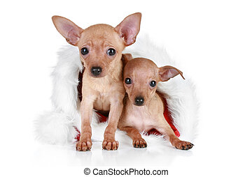 Two Toy terrier in Christmas cap