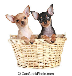Two toy terrier puppy in wattled basket