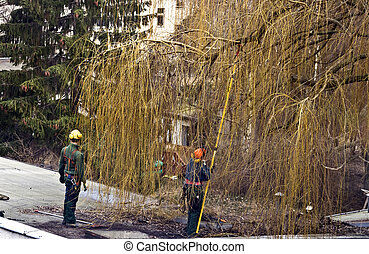 tree surgeons - two tree surgeons cutting branches from a...