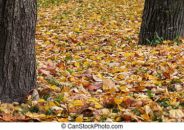 two tree trunks and leaves - two tree trunks and fallen...