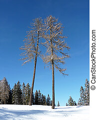 two trees covered with snow on the italian alps in Southtirol