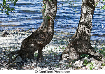 two trees on a rocky river bank with bare roots tangled