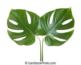 Two tropical jungle monstera leaves isolated on a white background