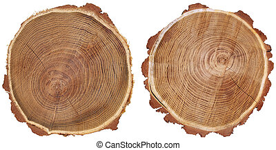 Two trunks - Cross section of tree trunk isolated on white...