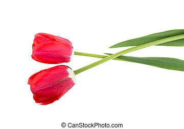 two tulip flowers on a white background isolated