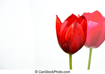 Two tulips against a light wall close-up. One in focus, the other blurred in the background. Beautiful red flowers on the stem.