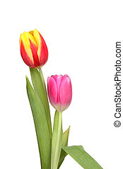 Two tulips and leaves