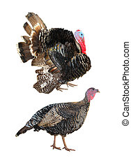 Two Turkey - Two turkeystanding on white background.