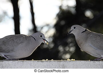 Two turtle dove eating