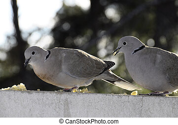 Two turtle dove eating some grains