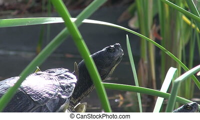 Two turtles basking in the sun