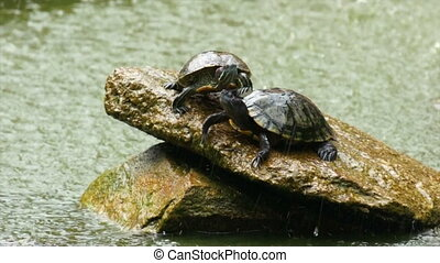Turtles - Two Turtles on a rock in a pond.