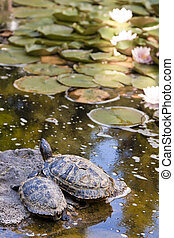 two turtles on a rock in the water