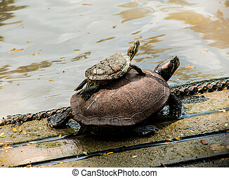 Two Turtles resting on a raft