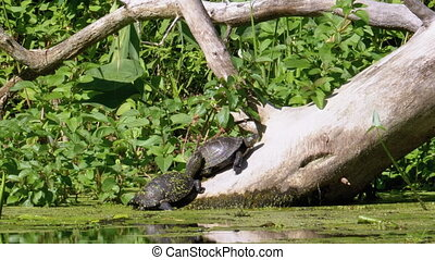 Two Turtles Sitting on a Log in the River with Green Algae. Turtles relaxing on an old wooden log. Summer, Sunny day. European pond turtle Emys orbicularis.