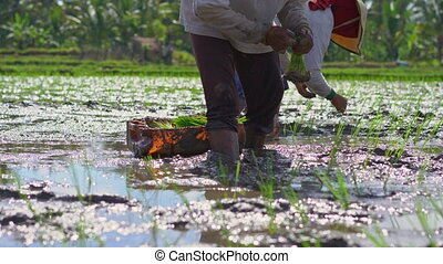 Two undefined women planting rice seedlings on a big field surrounded with palm trees. rice cultivation concept. Travel to Asia concept.