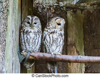 two ural owls sitting close together on a branch