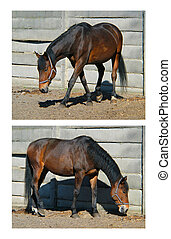 Two variations of a standing horse while walking on a pasture.