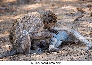 Two Vervet Monkey Grooming their Fur