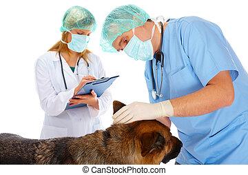 Two vets examining dog