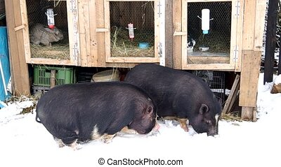 Two Vietnamese pigs in snow