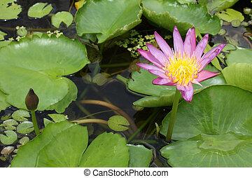 Two violet lotus