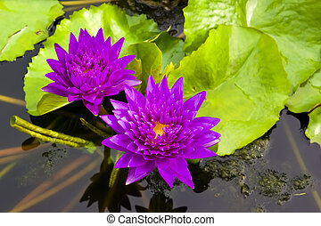 Two violet water lily in the pond