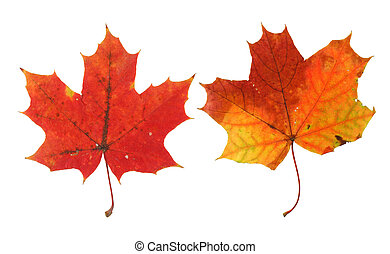 two vivid maple leaves isolated on white