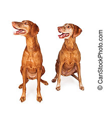 Two Vizsla Dogs Looking to Side
