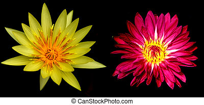 Two Water lily flowers over black background