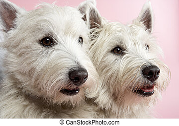 Two West Highland Terrier Dogs In Studio